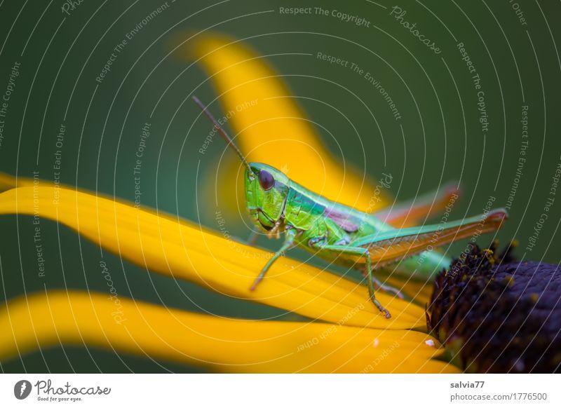 genießen | gelber Sonnenhut Natur Pflanze Tier Sommer Blume Blüte Garten Wildtier Insekt Heuschrecke Fühler 1 beobachten Blühend Duft warten oben Leichtigkeit