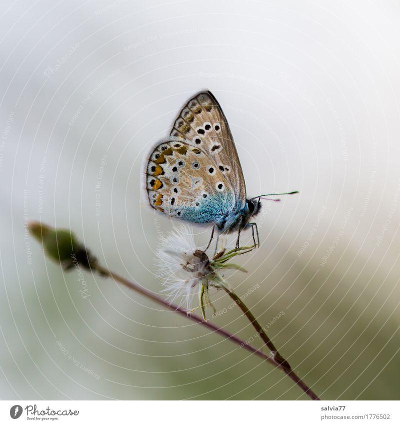 nebelgrau Natur Sommer Herbst Pflanze Blüte Wildpflanze Distelblüte Tier Schmetterling Flügel Bläulinge Insekt 1 blau braun einzigartig Leichtigkeit Pause ruhig