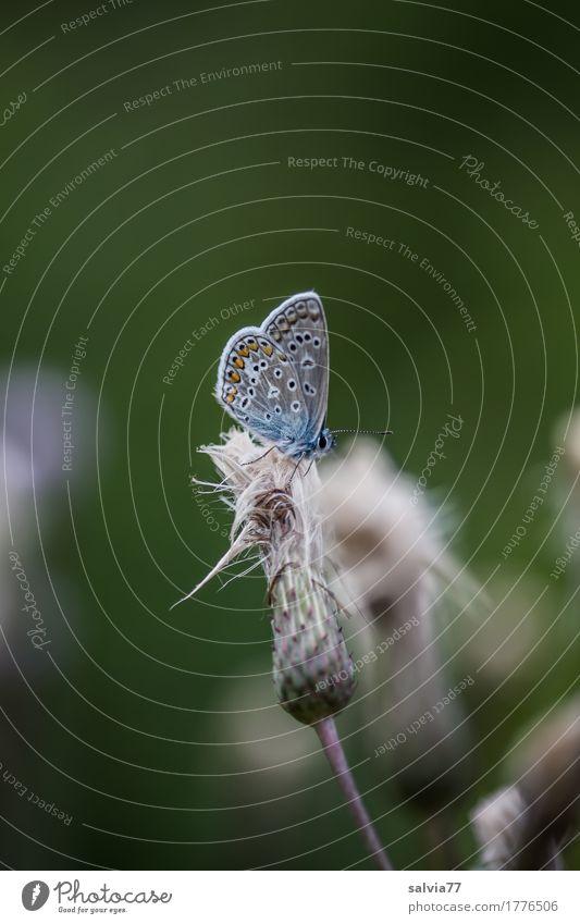 flauschig Natur Sommer Pflanze Blüte Wildpflanze Distelblüte Schmetterling Flügel Insekt Bläulinge 1 Tier klein niedlich oben weich grau grün Leichtigkeit Pause