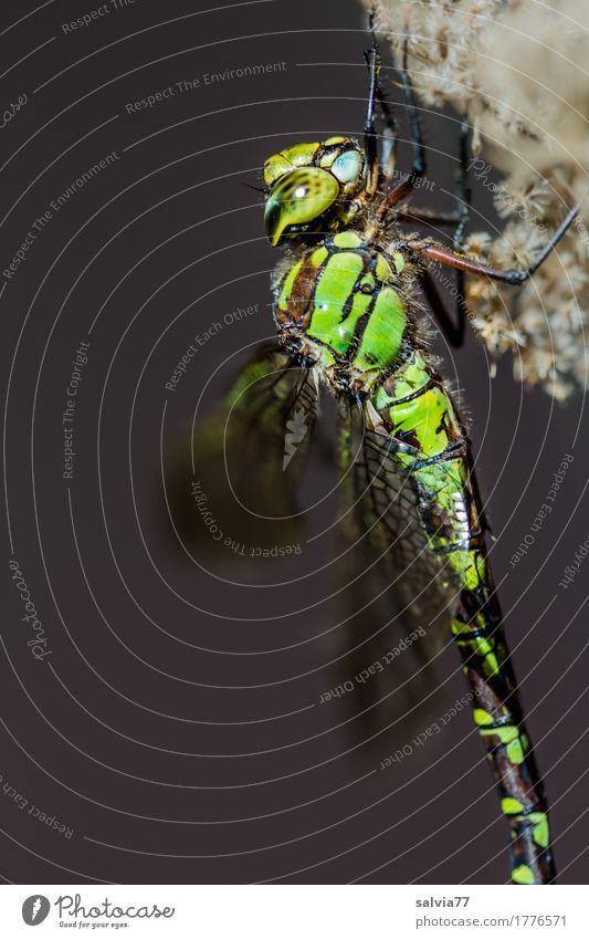 Mosaikjungfer Natur Tier Moor Sumpf Tiergesicht Flügel Libelle Libellenflügel Insekt Groß Libelle 1 grau grün Facettenauge Farbfoto Außenaufnahme Makroaufnahme