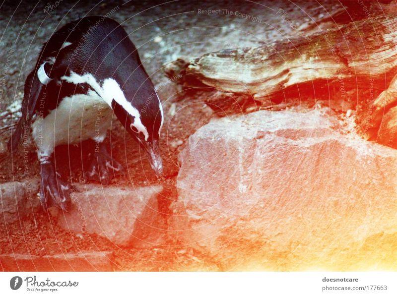 The Lonely Lunacy of Mr Penguin. rot Tier gelb Stein Vogel Suche Felsen Zoo analog Neugier Wildtier Filmmaterial Pinguin Lichtfleck Light leak