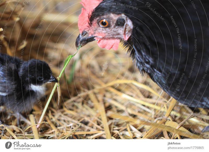 Nächstenliebe / Familienglück Lebensmittel Ernährung Tier Nutztier Vogel Haushuhn Küken 2 Tierjunges Tierfamilie kuschlig Bauernhof Landwirtschaft Stroh
