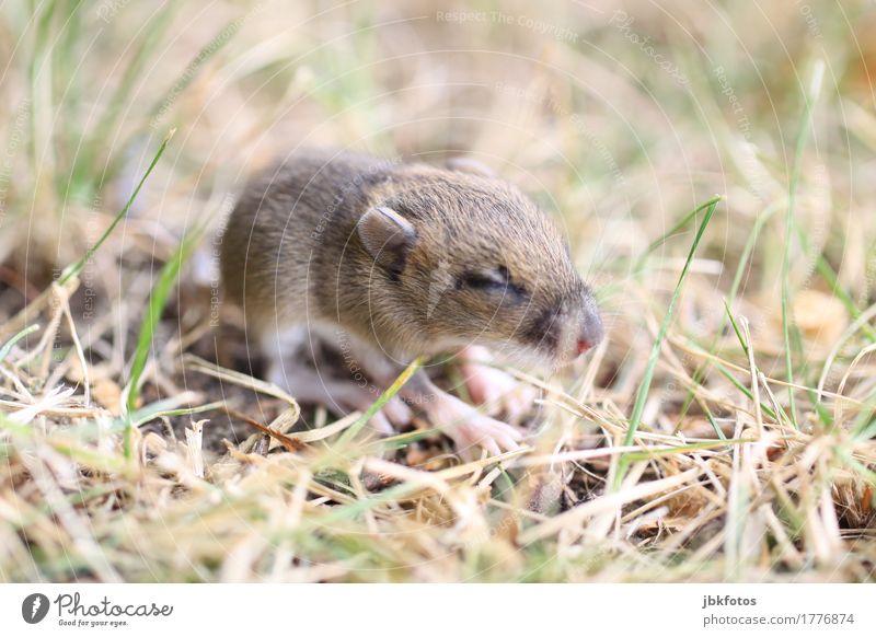 Katzengeschenk Lebensmittel Ernährung Umwelt Natur Tier Wildtier Tiergesicht Fell Maus 1 Tierjunges Nervosität verstört Jagd Dieb Landraubtier Außenaufnahme