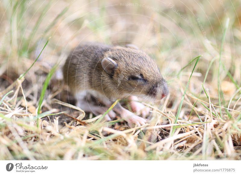 mucksmäuschenkalt Umwelt Natur Tier Wildtier Maus Tierjunges elegant frech frei Freundlichkeit klein niedlich Geschwindigkeit Außenaufnahme Nahaufnahme