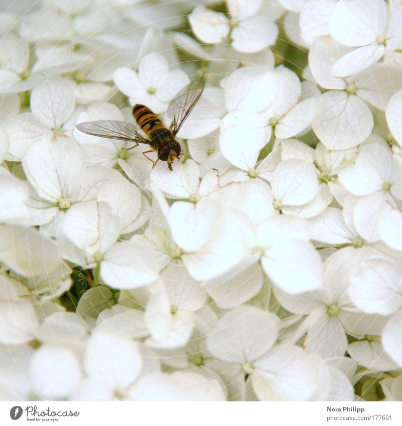 Naschende Schwebefliege Farbfoto Gedeckte Farben Außenaufnahme Tag Schwache Tiefenschärfe Vogelperspektive Umwelt Natur Pflanze Frühling Sommer Blume Sträucher