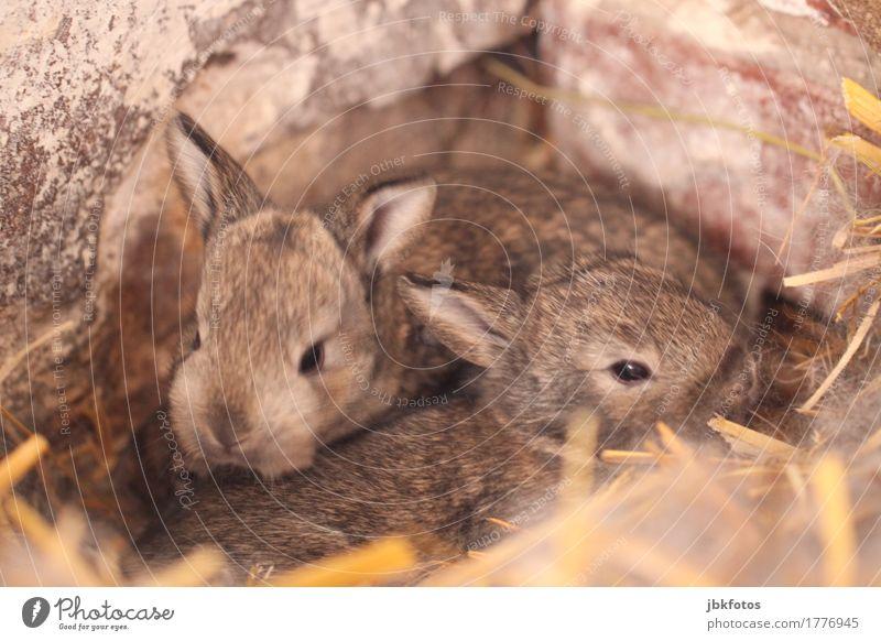 knuddelig Lebensmittel Ernährung Umwelt Natur Tier Haustier Nutztier Wildtier Hase & Kaninchen Zwergkaninchen 2 Tierjunges Gefühle Freude Glück Fröhlichkeit