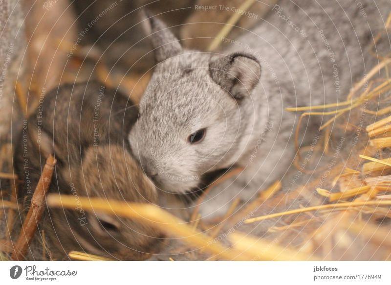 Süß, weich .... und knuddelig Lebensmittel Ernährung Tier Nutztier Wildtier Tiergesicht Fell Krallen Pfote Hase & Kaninchen Hasenpfote Hasenohren 2 Tierjunges