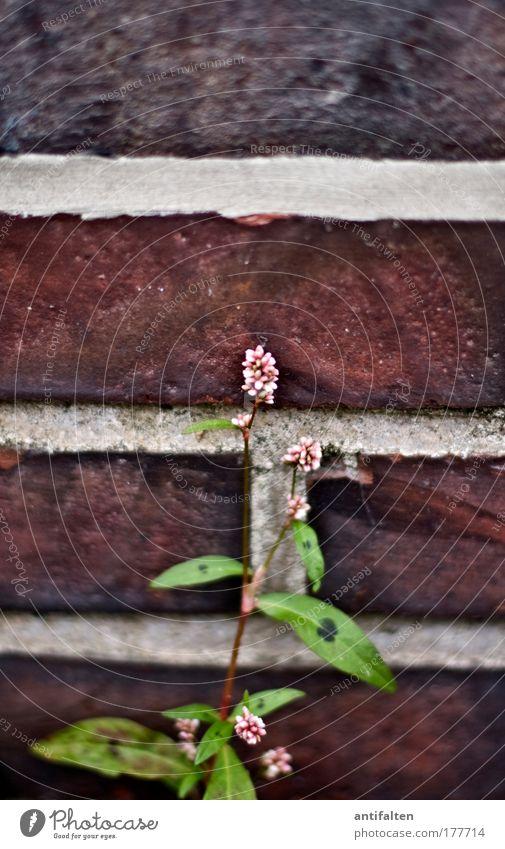 Mauerblümchen Umwelt Natur Pflanze Sommer Blume Blatt Blüte Wildpflanze Gebäude Wand Fassade Stein Backstein natürlich rot Farbfoto Außenaufnahme Tag Unschärfe
