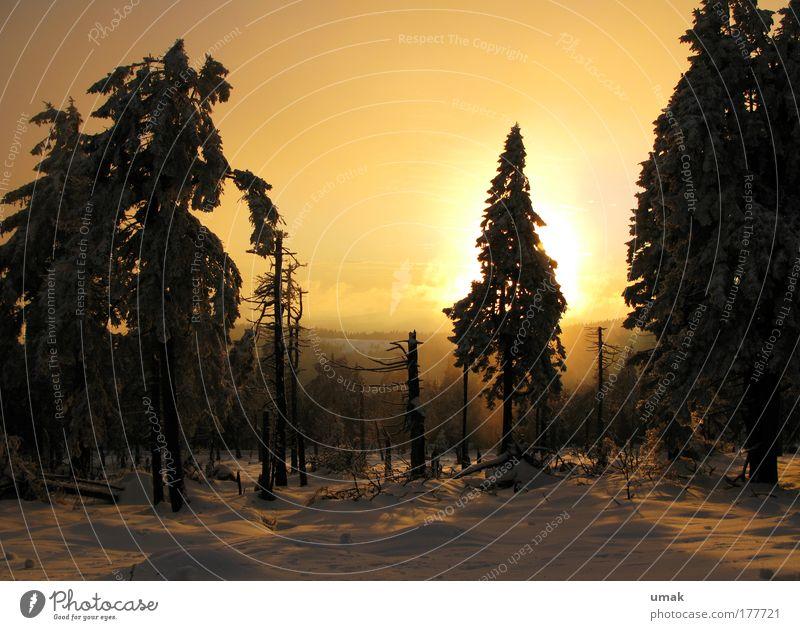 Oh Tannenbaum.. Farbfoto Gedeckte Farben Außenaufnahme Menschenleer Textfreiraum unten Abend Dämmerung Licht Schatten Kontrast Silhouette Sonnenlicht
