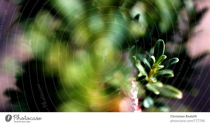 Rosmarin kompact grün garten rosmarin gewürz blätter blatt unscharf gelb pflanze botanik flora leben natur küche kochen kräuter kräutergarten licht