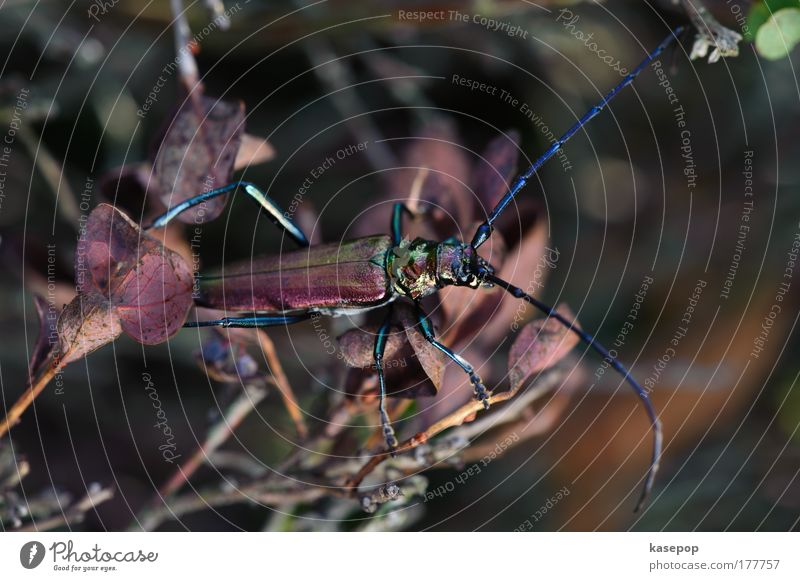 Der Große Eichenbock, Haspelmoor grün blau rot Tier braun glänzend Umwelt sitzen außergewöhnlich exotisch Käfer Umweltschutz krabbeln Umweltverschmutzung Makroaufnahme