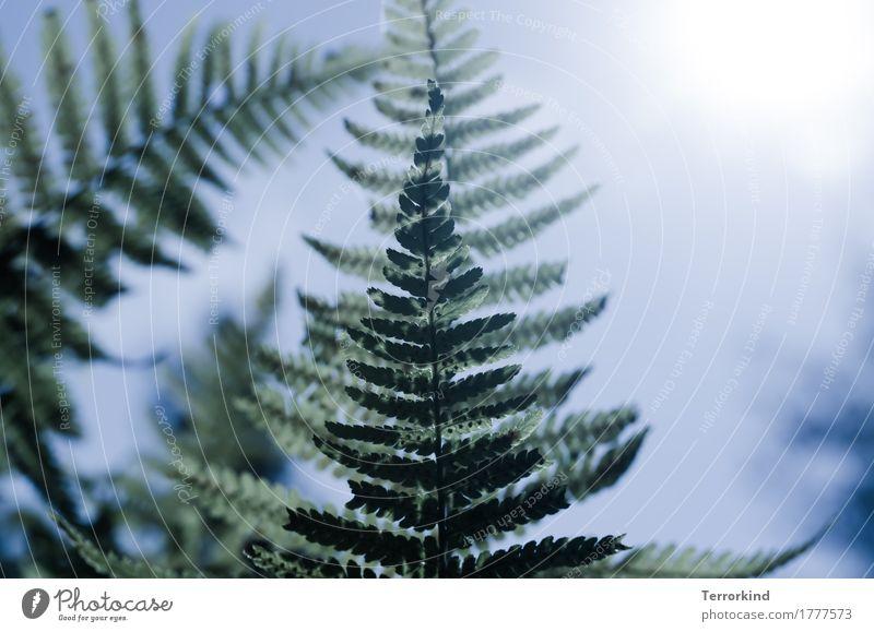 Farn im Gegenlicht Wald Grün (Green) Natur wachsen Pflanze flora Gewächs Garten