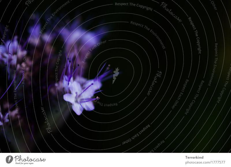 es.wird. Natur Pflanze schön Blume dunkel schwarz Blüte natürlich rosa leuchten elegant Wachstum ästhetisch frisch Kraft Schönes Wetter