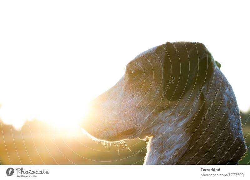 Hund im Gegenlicht Sonnenlicht Hundekopf Tier Außenaufnahme Haustier 1 Farbfoto Tierporträt Hundeschnauze Fell gehorsam Textfreiraum oben Podenco Schnauze
