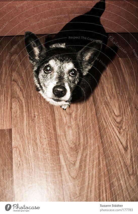 hypnotischer Dackelblick Hund Tier schwarz Auge grau warten niedlich Tiergesicht Konzentration Appetit & Hunger Haustier Schnauze Treue betteln Haushund