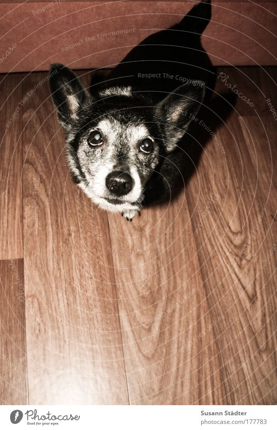 hypnotischer Dackelblick mehrfarbig Innenaufnahme Menschenleer Textfreiraum unten Licht Tier Hund 1 Blick warten Konzentration Appetit & Hunger Schnauze Treue