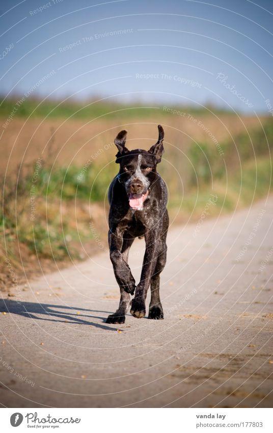 Nicht anspringen! NICHT ANSPRINGEN! Freude Tier Umwelt Landschaft Glück Hund Feld rennen Geschwindigkeit Ohr Schönes Wetter Jagd Haustier Jäger Jagdhund
