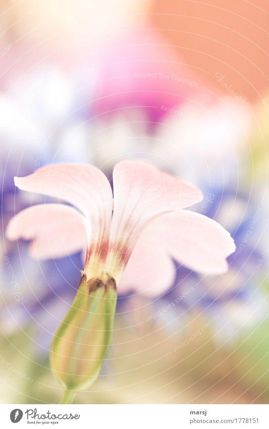 unscheinbar Leben harmonisch Wohlgefühl Pflanze Sommer Blume Blüte Blühend leuchten authentisch einfach elegant Pastellton zart Farbfoto mehrfarbig