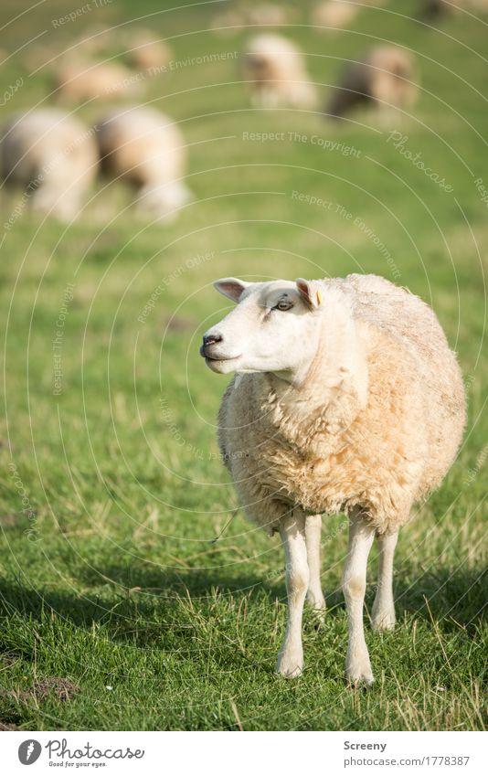 Am I Dolly? Natur Landschaft Pflanze Tier Sonne Sommer Gras Küste Nordsee Deich Nutztier Schaf Schafherde Herde stehen Gelassenheit Fressen Landwirtschaft Wolle