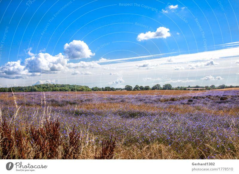 Rapsfeld mit Kornblumen im Spätsommer an der Schlei Natur Ferien & Urlaub & Reisen Pflanze Landschaft Umwelt Wiese Tourismus Feld wandern Ausflug Blühend
