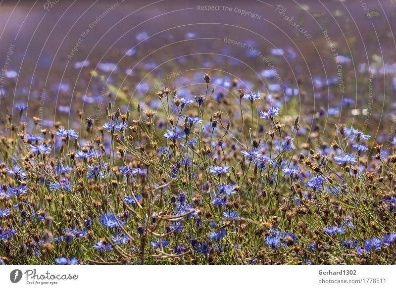 Kornblumen im Gegenlicht Natur Pflanze Feld Erholung Wiese Sonnenlicht blau Sommer Ernte Farbfoto Außenaufnahme Detailaufnahme Zentralperspektive