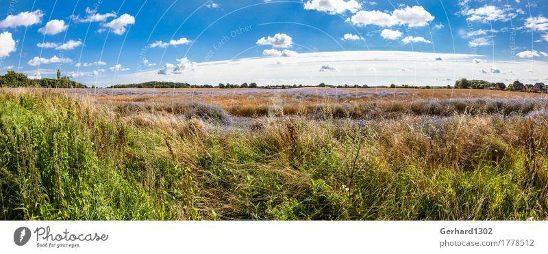 Rapsfeld mit Kornblumen im Spätsommer bei Schleswig Natur Ferien & Urlaub & Reisen Sommer Landschaft Wiese Tourismus Freizeit & Hobby Feld wandern Ausflug
