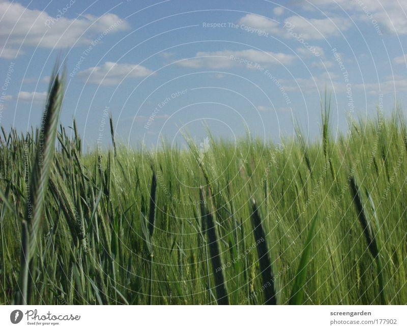 Feld Natur Himmel grün blau Pflanze Sommer Gras Landschaft Umwelt gold groß Getreide Schönes Wetter Wissen Grünpflanze