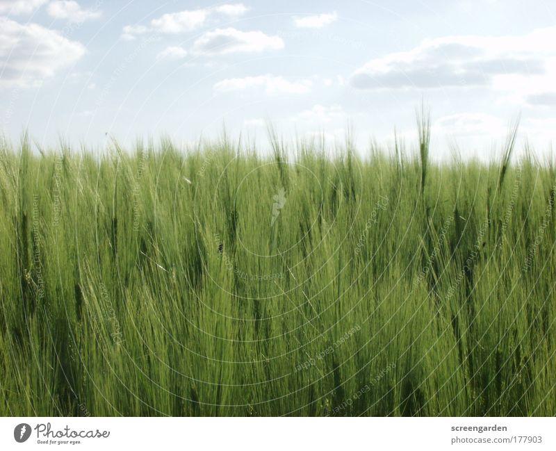 Feld Natur Pflanze Sommer ruhig Landschaft Umwelt Getreide Tradition Grünpflanze Getreidefeld Nutzpflanze