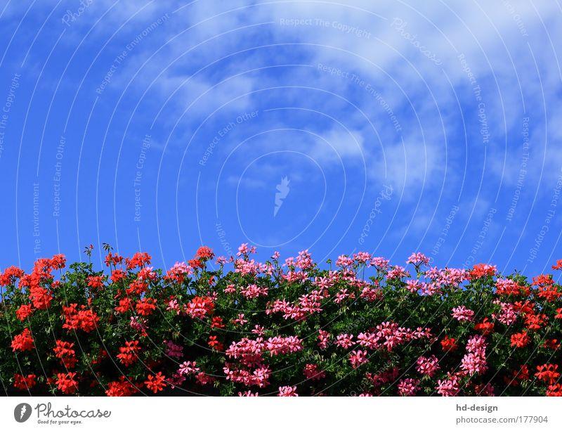Geranien Farbfoto Außenaufnahme Menschenleer Tag Natur Pflanze Himmel Wolken Sommer Schönes Wetter Wärme Blüte Grünpflanze Pelargonie Duft schön blau mehrfarbig