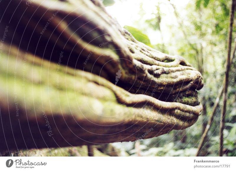 walddrachenmaul Wald Holz bizarr Drache Maul Wurzel Echsen Liane
