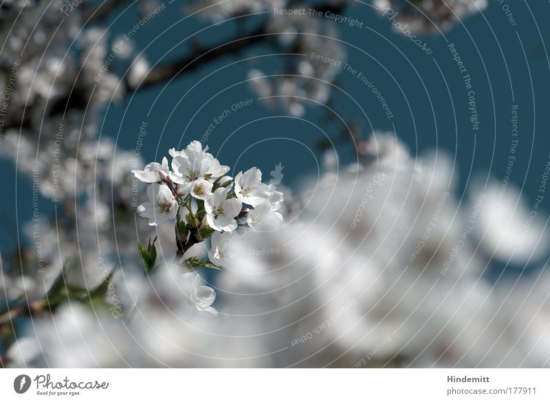 Endlich mal Kirschblüten Farbfoto Gedeckte Farben Außenaufnahme Menschenleer Textfreiraum rechts Tag Licht Unschärfe Schwache Tiefenschärfe Natur Himmel