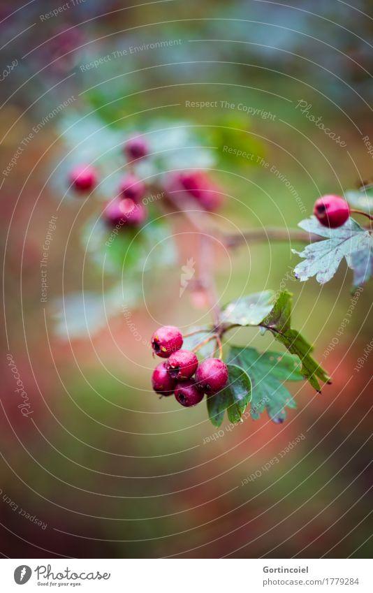 Weißdorn Natur Pflanze Baum rot Blatt Wald Umwelt Herbst Beeren reif herbstlich Beerensträucher Weissdorn