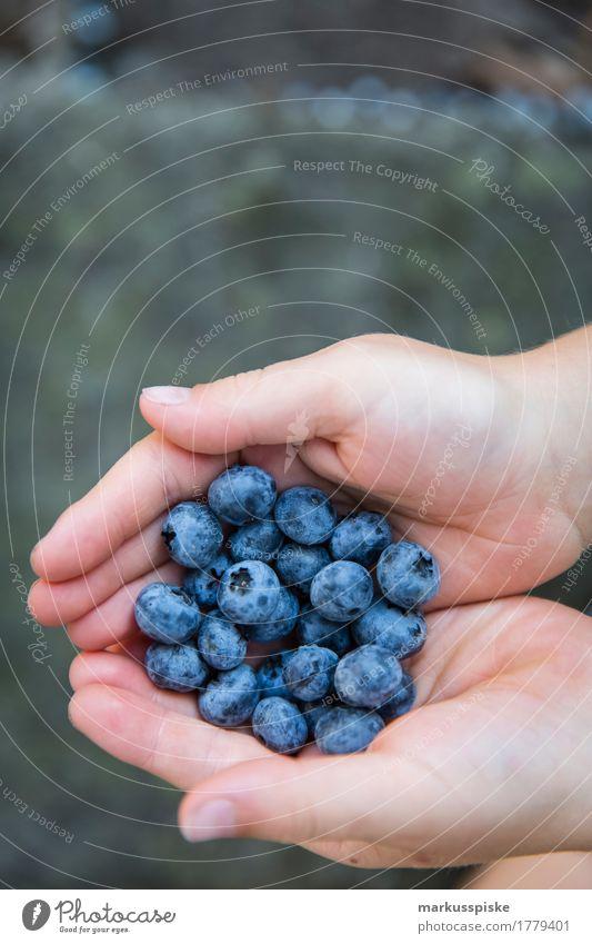 frische blaubeeren ernte Lebensmittel Frucht Beeren Beerensträucher Beerenfruchtstand Blaubeeren Sammlung pflücken Ernte Ernährung Essen Picknick Bioprodukte