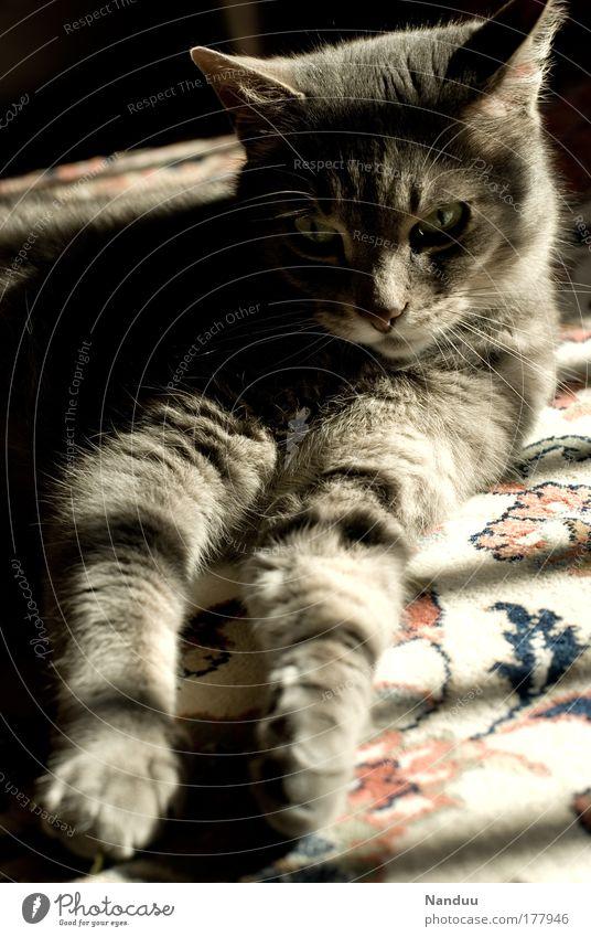 Das süße Leben Farbfoto Gedeckte Farben Innenaufnahme Menschenleer Abend Licht Schatten Sonnenlicht Sonnenstrahlen Weitwinkel Tier Haustier Katze 1 liegen