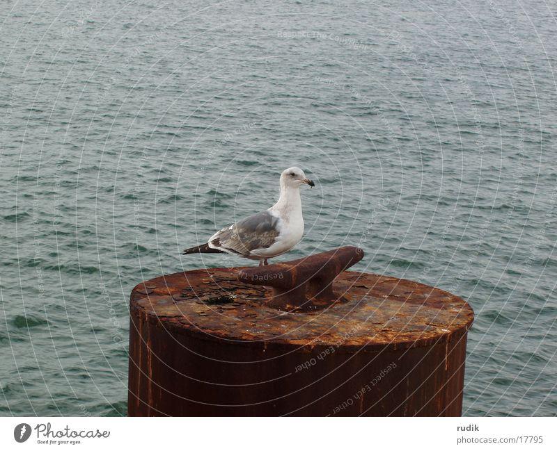 Möwe Meer See Vogel Rost Möwe San Francisco