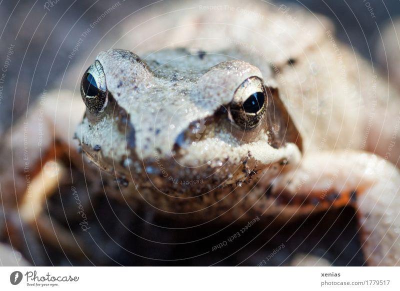 Frosch Portrait Tiergesicht Grasfrosch Pupille 1 Märchen hocken Blick gold schwarz Laich Braunfrosch Außenaufnahme Nahaufnahme Schwache Tiefenschärfe