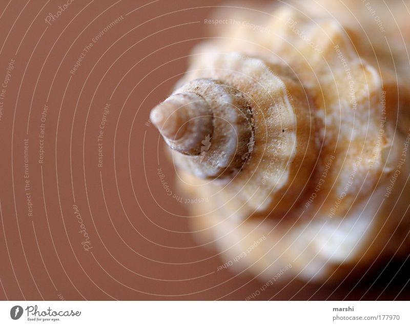 Traummuschel Farbfoto Unschärfe Umwelt Natur Küste Strand Meer braun Muschel Muschelform Erinnerung Ferien & Urlaub & Reisen