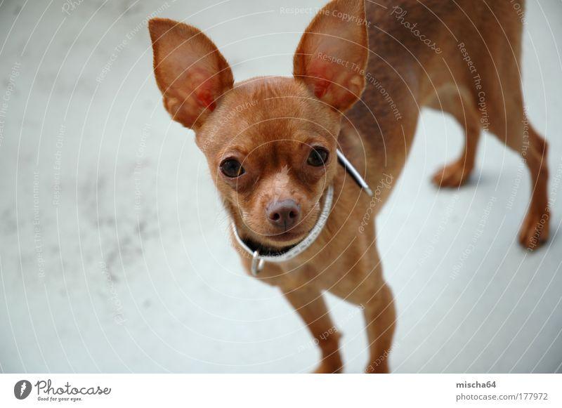 Russian Toy | Russkiy Toy | Russicher Zwerghund Sommer Tier Haustier Hund 1 Tierjunges ästhetisch Gefühle Farbfoto Nahaufnahme Menschenleer Textfreiraum links