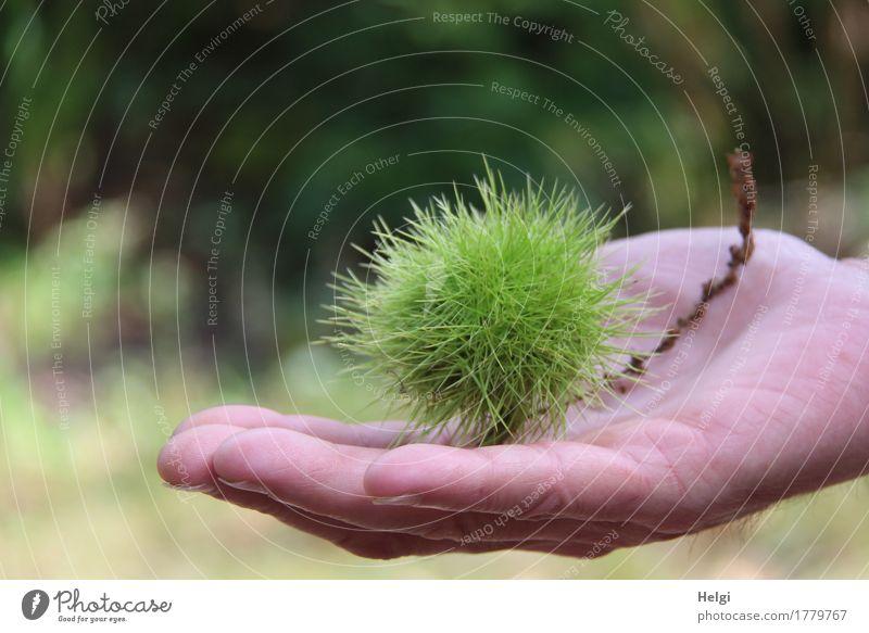 autsch...das piekst Mensch Natur Pflanze grün Hand Wald Umwelt Senior Herbst natürlich klein braun Stimmung maskulin liegen frisch