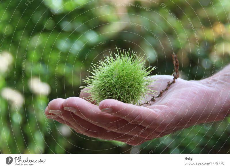 Herbstfrucht Mensch maskulin Hand Finger 1 60 und älter Senior Umwelt Natur Pflanze Schönes Wetter Baum Wildpflanze Kastanie Maronen Wald festhalten natürlich