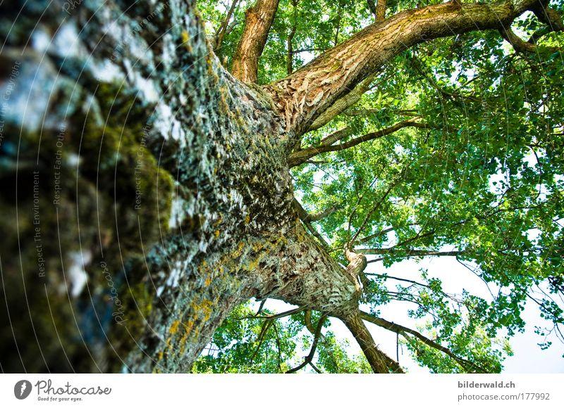 Einfach Bäumig Natur alt Baum grün blau Sommer Blatt Tier Kraft groß Ast fest natürlich Baumstamm stark positiv