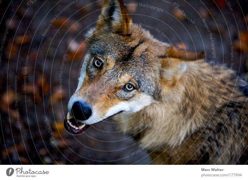 Canis lupus Tier Auge braun Angst gefährlich wild bedrohlich Wildtier Gebiss Tiergesicht Wachsamkeit Aggression Wolf Vogelperspektive fletschen Zähne zeigen