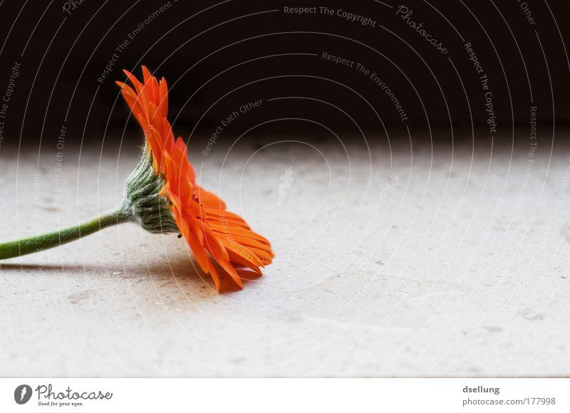 Another Dream I had of You Blume grün Pflanze rot orange Gerbera