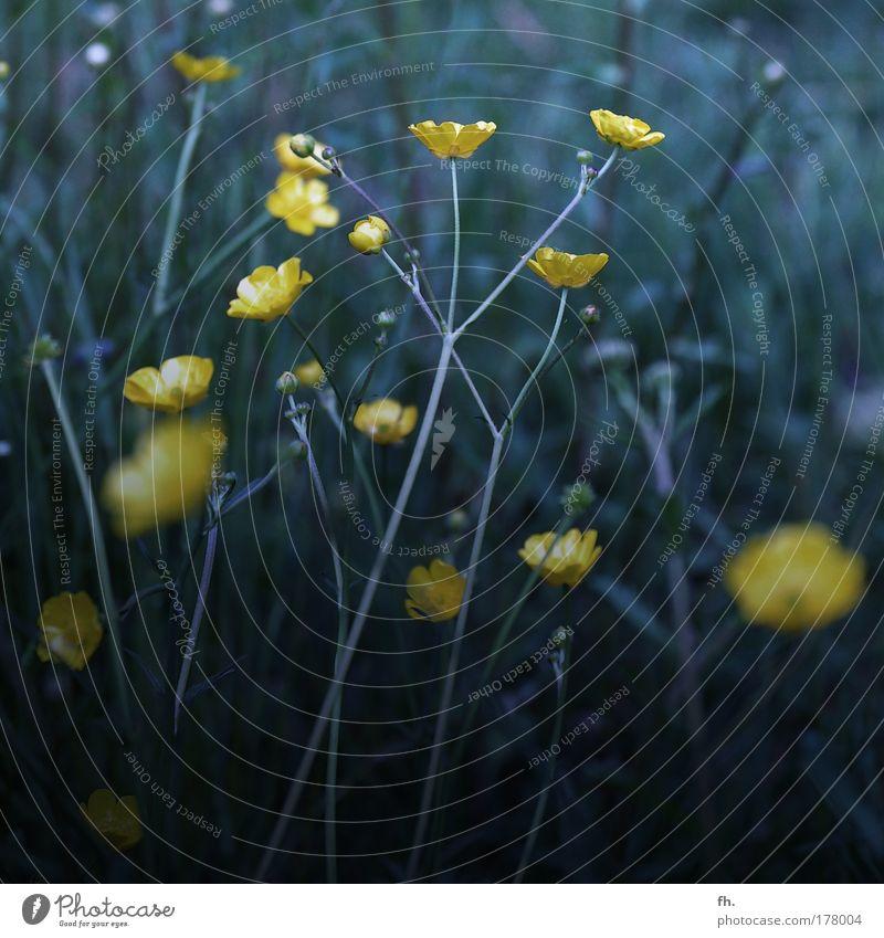 Dunkle Schönheit Natur schön grün Pflanze Sommer Einsamkeit gelb dunkel kalt Wiese Blüte Bewegung Frühling Traurigkeit Stimmung Wachstum