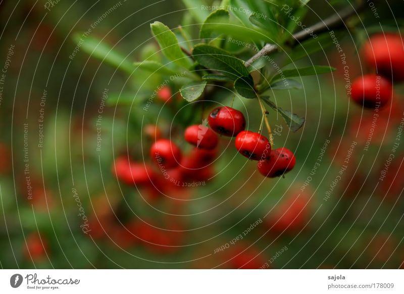 rote beeren Natur Pflanze Park Umwelt Frucht Sträucher hängen Beeren Grünpflanze Fruchtstand Wildpflanze