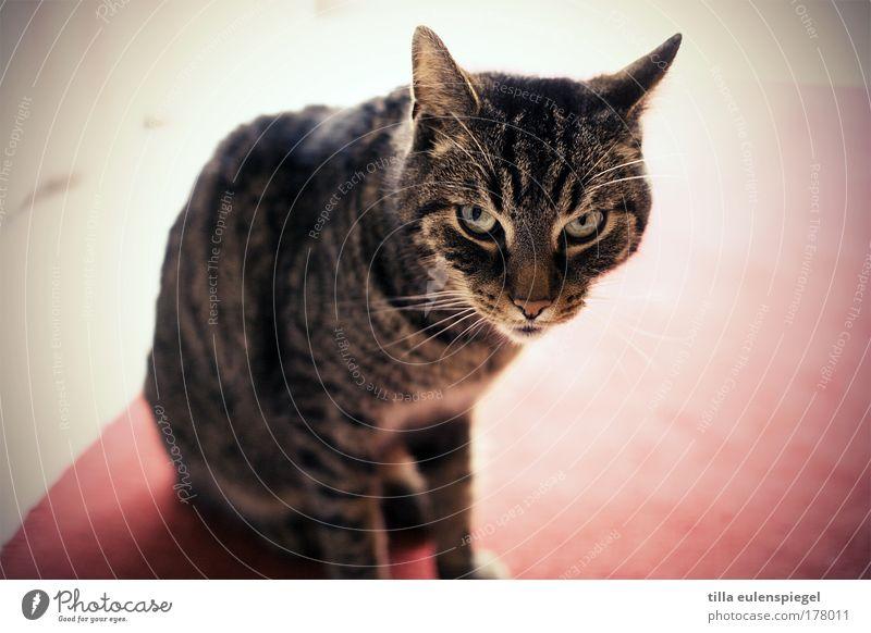 akute k(r)atzgefahr Farbfoto Innenaufnahme Textfreiraum rechts Tag Tierporträt Blick in die Kamera Haustier Katze Tiergesicht 1 beobachten warten Aggression