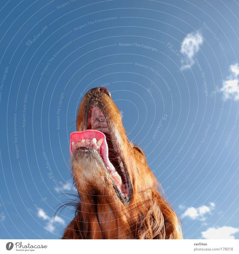 Hundstage Irish Setter Fell Zähne Gebiss Schnauze Zunge atmen rotbraun langhaarig aufsehen Blick nach oben gehorsam aufmerksam Bewunderung warm heiß Schwüle
