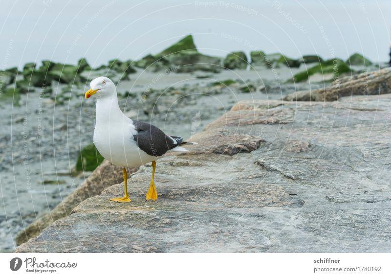 Sucht | nach Fressen Tier Küste Stein Vogel Wildtier stehen Suche Möwe Gleichgewicht Möwenvögel einbeinig