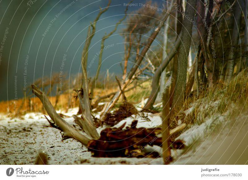 Weststrand Farbfoto Außenaufnahme Tag Umwelt Natur Landschaft Pflanze Sand Himmel Baum Küste Strand Ostsee Meer wild Freiheit Leben Darß Windflüchter