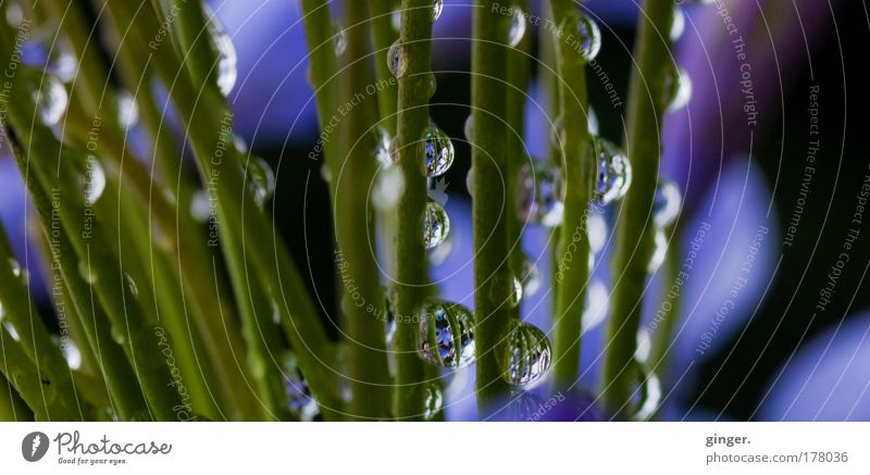 Tropfenstängel Natur blau grün Pflanze Wetter glänzend Wassertropfen violett Stengel durchsichtig Halm Wasserspiegelung durchscheinend